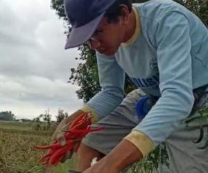 PPKM Larang Hajatan Nikah, Petani Cabai Ponorogo Menjerit Gegara Merugi
