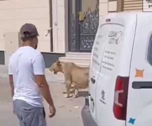 Seekor Singa Santai Berjalan-jalan di Trotoar Saudi Arabiyah